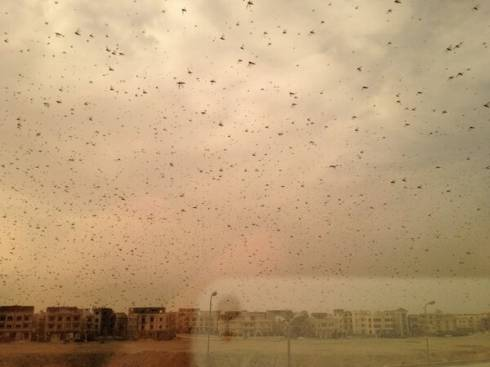 Locusts Have Taken Over Egypt