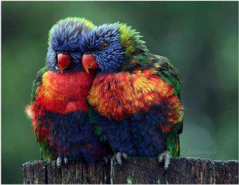 A Pair of Rainbow-Colored Parrots